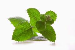 Usine fraîche de menthe poivrée. Image stock