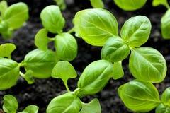 Usine Genovese verte et saine de jeune plante de basilic s'élevant dans l'organe photos libres de droits