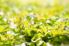 Usine hydroponique de laitue de chêne rouge photos libres de droits