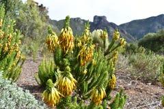 Usine jaune colorée dans le jardin botanique à Cape Town en Afrique du Sud Photos stock