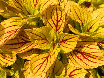 Usine jaune et rouge colorée. Images stock