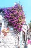 Usine lilas sur un mur de maison Images stock