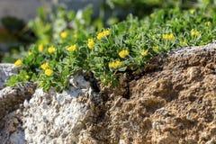 Usine Lotus avec l'horticulture jaune sur un plan rapproché de pelouse images stock