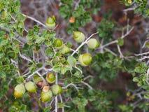 Usine méditerranéenne indigène - chêne kermès (Quercus coccifera) image stock