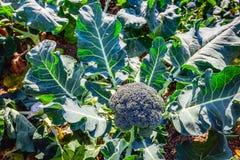 Usine mûre de brocoli dans le domaine de la fin photographie stock