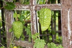 Usine melon ou de charantia amer chinois de Momordica dans le jardin Images libres de droits