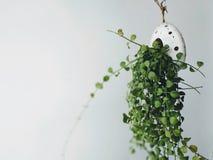Usine mise en pot verte fraîche, décoration intérieure photos libres de droits