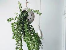 Usine mise en pot verte fraîche, décoration intérieure images libres de droits