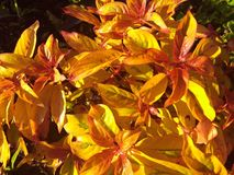 Usine orange rouge jaune de biscuit du feu Image libre de droits