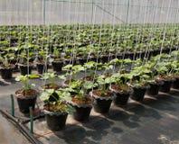 Usine organique de melon Images libres de droits