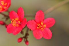 Usine ornementale une de crabapple de ces derniers pour un bruit somptueux des fleurs blanches, roses, ou de rouge chaque ressort Images libres de droits