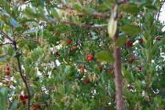Usine ou arbre avec les feuilles vertes le fruit rouge s'appelle le marmolotto unedo ou artocarpus d'arbutus Fruit juteux et savo photographie stock libre de droits