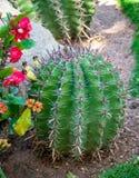 Usine pointue de cactus de grand rond images stock