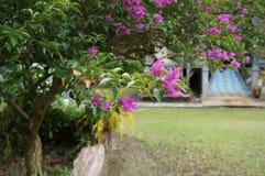 Usine pourpre rose Asie Malaisie de fleurs de Spectabilis de bouganvillée Photographie stock
