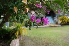 Usine pourpre rose Asie Malaisie de fleurs de Spectabilis de bouganvillée Photo stock