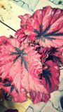 Usine rose Photographie stock