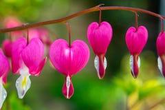 Usine rose de défenseur de la veuve et de l'orphelin, Dicentra Spectabilis photographie stock