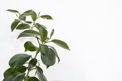 Usine rose de mandevilla sans fleurs dessus d'isolement sur le backg blanc image libre de droits