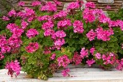 Usine rose de peltatum de pélargonium également connue sous le nom de géranium fleurissant dans le jardin d'été images stock
