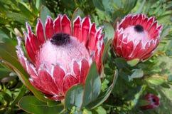 Usine rose de protea de roi images stock