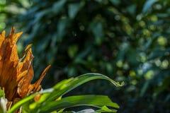Usine rouge avec des feuilles du feu image libre de droits