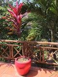 Usine rouge dans le pot rouge de thee sur la terrasse en bois image libre de droits