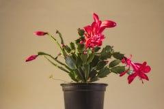 Usine rouge de cactus de Noël Images stock
