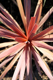 Usine rouge de Cordyline Photographie stock