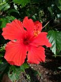 Usine rouge de fleur de ketmie Image libre de droits