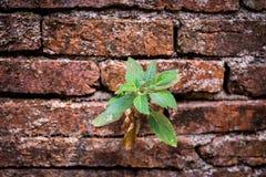 Usine s'élevant des briques criquées de mur Image libre de droits
