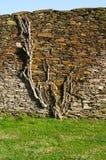 Usine s'accrochant au mur en pierre Images libres de droits