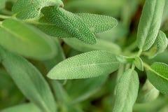 Usine sage, sauge dans le potager des herbes photo stock