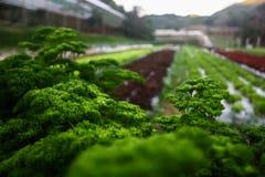 Usine saine de légumes dans le nord de la Thaïlande (Chiangmai) Image libre de droits