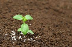 Usine sainte de basilic dans le sol fertile avec de l'engrais chimique Photographie stock libre de droits