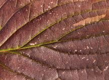 Usine saisonnière de détail de macro d'automne nature rouge de feuille Images libres de droits