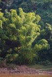 Usine sauvage de bambou géant s'élevant sur la rive au Laos Photographie stock libre de droits