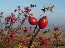 Usine sauvage de canina de Rosa de hanche rose Cynorrhodons rouges en nature Photographie stock