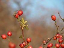 Usine sauvage de canina de Rosa de hanche rose Cynorrhodons rouges en nature Images stock