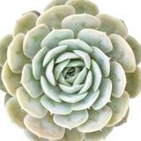 Usine succulente d'echeveria miniature d'isolement sur le fond blanc Photographie stock