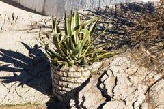 Usine succulente dans un pot en pierre images stock
