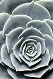 Usine succulente de cactus dans le jardin Image stock