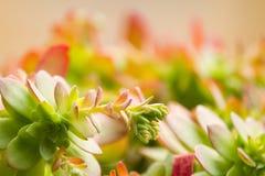Usine succulente de jade dans la lumière image stock