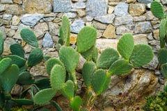 Usine succulente de lapin d'oreille de désert vert frais de cactus s'élevant sur le fond approximatif de mur en pierre de granit, Photographie stock