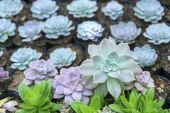 Usine succulente de parterres dans le jardin Images stock