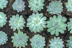 Usine succulente de parterres dans le jardin Images libres de droits