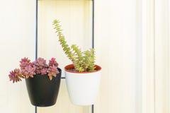 Usine succulente de perfolata de sedum et de Crassula dans le pot de fleur sur le fond de whte photos libres de droits