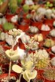 Usine succulente fleurissante Photo libre de droits
