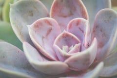 Usine succulente pourpre et verte Photos libres de droits