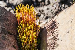 Usine verte de Moss Wild avec de belles fleurs jaunes en fleur parmi les pierres rouges images stock