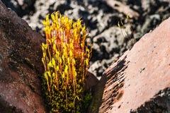 Usine verte de Moss Wild avec de belles fleurs jaunes en fleur parmi les pierres rouges avec des baisses de pluie de l'eau photo stock